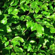 Spring New Beech Leaves Art Print