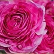Spring Pink Roses Art Print