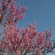 Spring Redbud Tree Art Print