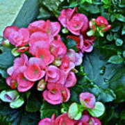 Spring Show 17 Begonias And Roses Art Print