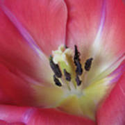 Spring Tulip Art Print
