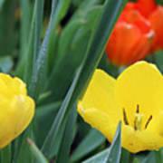 Spring Tulips 144 Art Print
