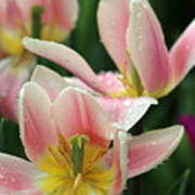 Spring Tulips 152 Art Print