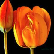 Spring Tulips V Art Print