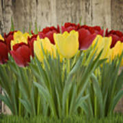 Spring Yellow And Red Tulips Art Print
