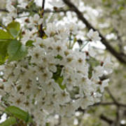 Springtime Abundance - Masses Of White Blossoms Art Print