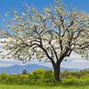 Springtime Apple Tree Panorama Art Print