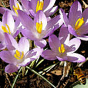 Springtime Crocuses  Art Print