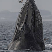 Spyhopping Humpback Whale In Monterey Bay Art Print