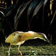 Squacco Heron On The Look Out For Fish Art Print