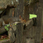 Squatting Squirrel Art Print