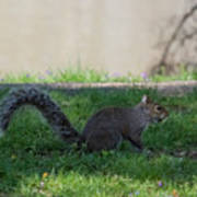 Squirrel At A Stand Still Art Print