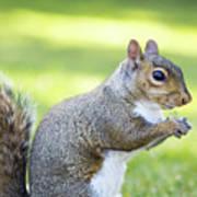 Squirrel Eating Grapes Art Print