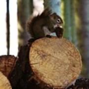 Squirrel Eating Pinecones Art Print