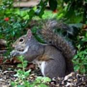 Squirrel IIi Art Print