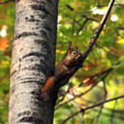 Squirrel In Fall Art Print