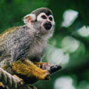 Squirrel Monkey Looking Up Art Print