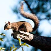 Squirrel On Limb Art Print