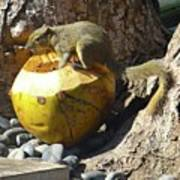 Squirrel On The Coconut Art Print