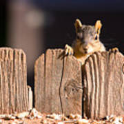Squirrel On The Fence Art Print