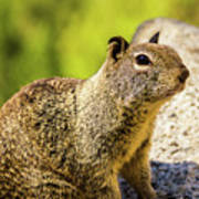 Squirrel On The Rock Art Print