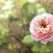 St. Cecilia Shrub Rose, Pink Rose Originally Produced By The Br Art Print