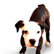 Staffordshire Bull Terrier Puppy Art Print by Michael Tompsett