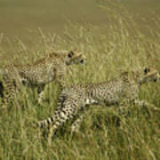 Stalking Cheetahs Art Print