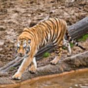 Stalking Tiger - Bengal Art Print