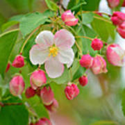 Stand Alone Japanese Cherry Blossom Art Print
