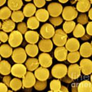 Staphylococcus Capitis Bacteria, Sem Art Print