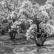 Star Magnolia Trees Art Print