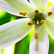 Star Of Bethlehem Grass Lily Art Print