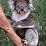 Staring Koala Art Print
