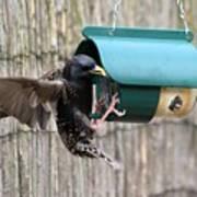 Starling On Bird Feeder Art Print