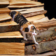 Stepping Down - Calico Cat On Beech Woodpile Art Print