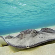 Stingrays Under Water Art Print