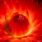 Strawflower Sombrero Art Print