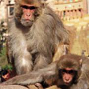 Kathmandu Street Monkeys  Art Print