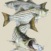 Striped Bass Art Print by Kevin Brant
