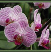 Striped Orchids With Border Art Print