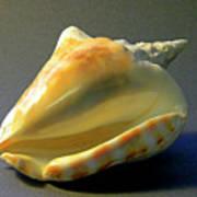 Strombus Inermis Seashell Art Print