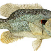 Study Of A Green Sunfish Art Print