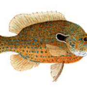 Study Of A Longear Sunfish Art Print