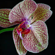 Study Of An Orchid 2 Art Print