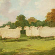 Study Of Sheep In A Landscape   Print by Richard Whitford