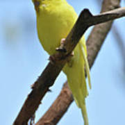 Stunning Little Yellow Budgie Parakeet In Nature Art Print