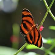 Stunning Oak Tiger Butterfly Resting On Flowers Art Print