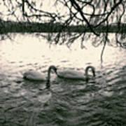 Subtle Swans  Art Print
