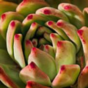 Succulent Petals Art Print